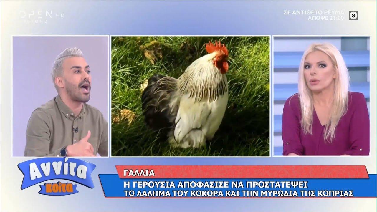 Γαλλία: Η Γερουσία προστατεύει το λάλημα κόκορα και την μυρωδιά κοπριάς   Αννίτα κοίτα   OPEN TV