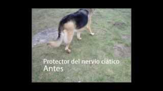 Corrector nervio ciático en perros