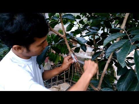 Cara Cangkok Susu Pohon Rambutan