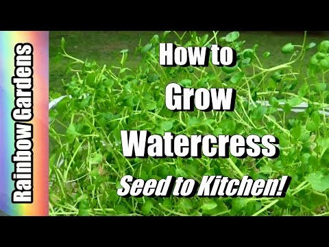 4K How To Grow Superfood Watercress Indoors! Cut -n- Come Again! Seed To Kitchen