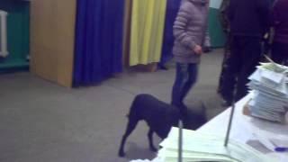 Собака пытается проголосовать на избирательном участке в Закарпатье