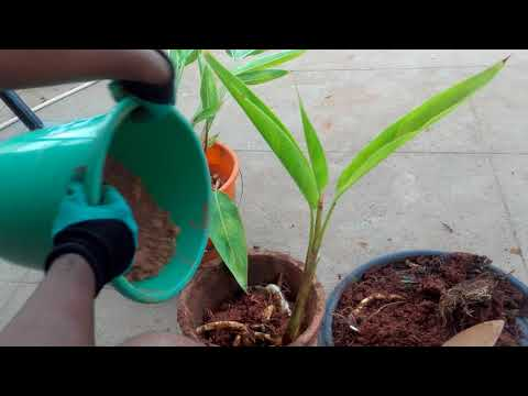 how-to-easily-propagate-heliconia-psittacorum-by-division