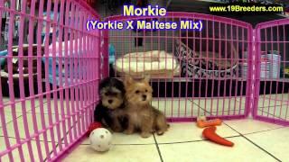 Morkie, Puppies, For, Sale, In, Allegheny, Pennsylvania, PA, Bucks, Chester, County, Berks, Delaware