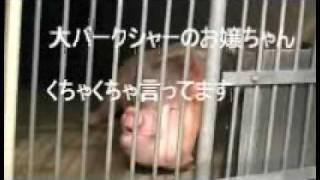 2010/01 豚、大ヨークシャー種