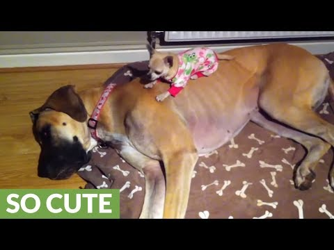 Adorably tiny Chihuahua sleeps on top of Great Dane