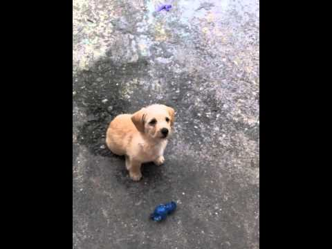 Poodle Con Chihuahua Youtube