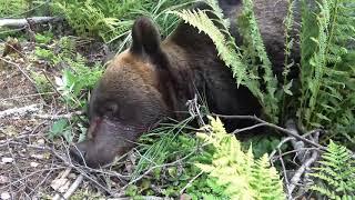 Охота на медведя. Как Финны охотятся на медведя  ?!