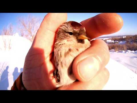 +18 (Тут бывает матерятся)Ловля певчих птиц орнитологической сетью