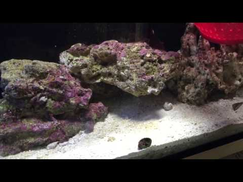 How To Train Your Tank Rasied Clown Fish To Host Part#2  Update