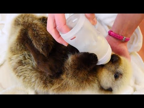 Orphaned Baby Sea Otter Learns How to Swim at New Home