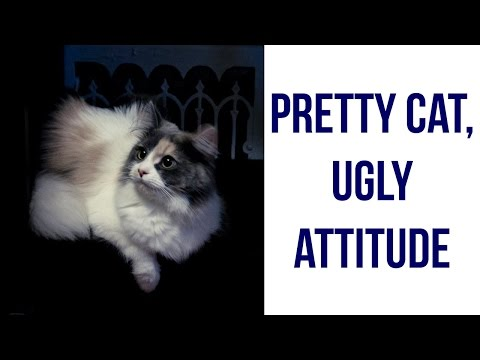 Pretty Cat with a Bad Attitude! Dilute Calico Does Not Like Being Held. Funny Cat Video