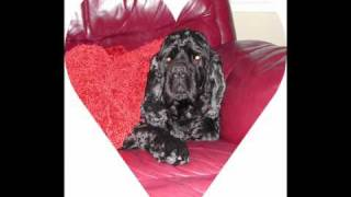 Tribute In Memory To Our Loving Cocker Spaniel