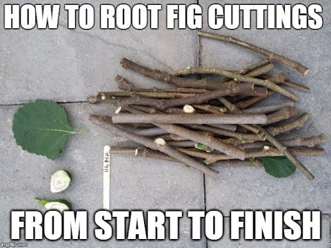 Figs. How to root fig cuttings from beginning to end