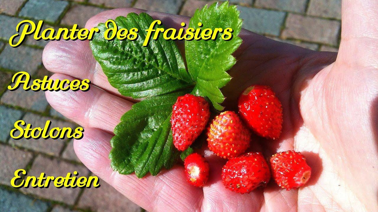 Comment Faire Des Graines De Fraises how to multiply your strawberry plants. stolons, tricks.