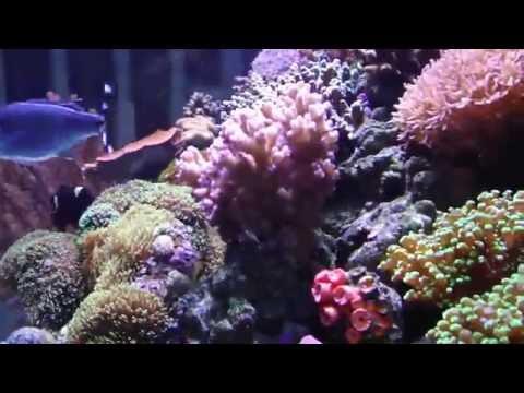 Reef Fish 1 / Sargassum TriggerFish