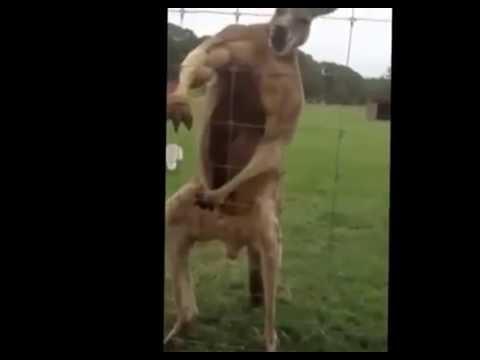 Kangaroo rap (niga)