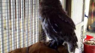 eastern screech owl call