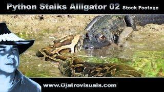 Python Stalks Alligator 02 Stock Footage