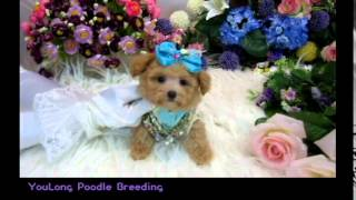 Small Teacup Poodle 369