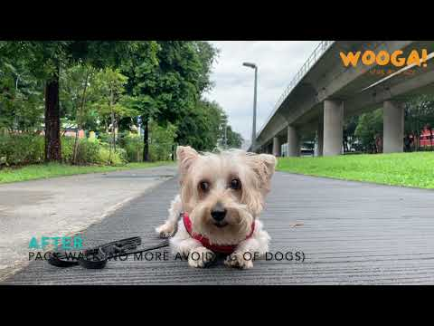 [14 Days Board & Train] - 8 Year Old Silky Terrier