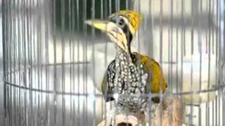 Burung Pelatuk Mantap untuk Masteran Murai Batu