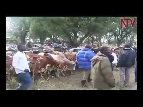 Over 2,000 cows impounded in Nakapiripirit