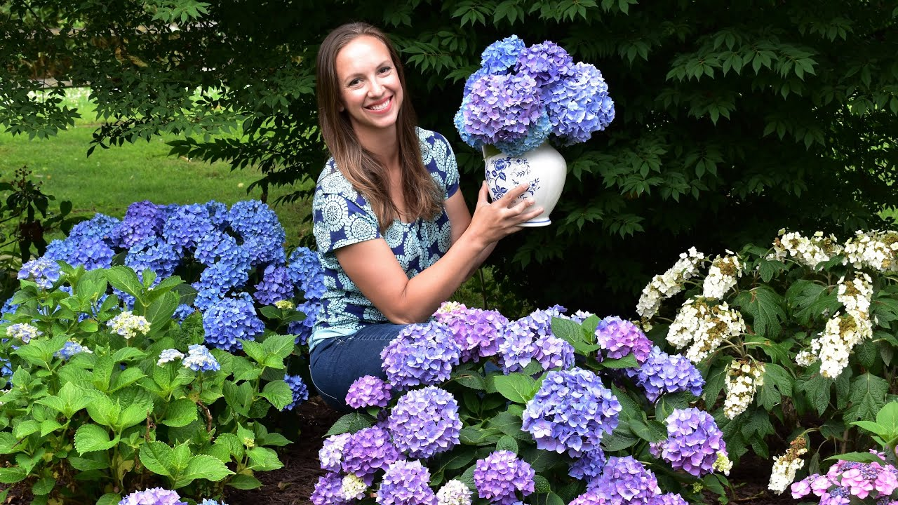 How to get the longest vase life from your cut Hydrangea Blooms