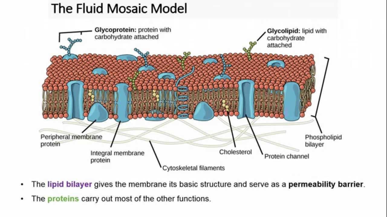 Module 4 1 video 2 transport across membranes youtube module 4 1 video 2 transport across membranes pooptronica