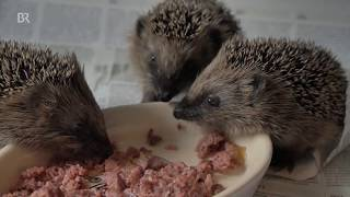 Schwache kleine Igel: Hilfe für die Tiere nach dem trockenen Sommer