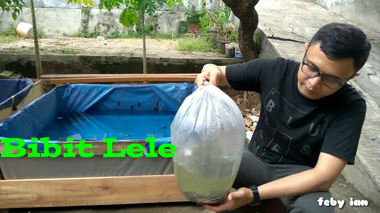 Ternak lele di kolam terpal sederhana, Lele Sangkuriang ...
