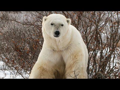 Living With Polar Bears