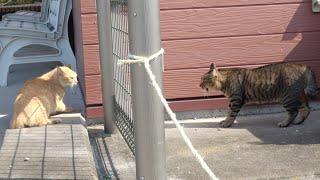 縄張り争いに敗れた茶トラ猫がへっぴり腰になって逃げるw