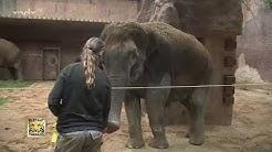 Elefantenkuh Thura ist gestorben