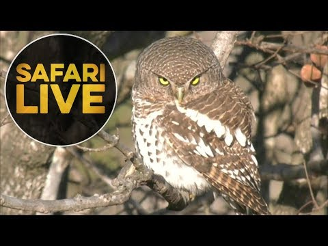 safariLIVE- Sunrise Safari - July 18, 2018