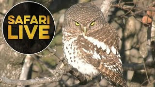 safariLIVE- Sunrise Safari - July 18, 2018