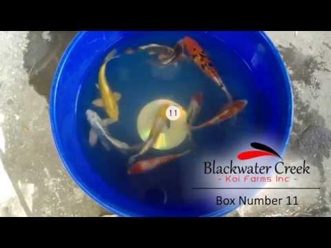 Baixar Blackwater Creek Koi Farms - Download Blackwater