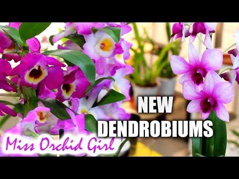 Dendrobium Orchids haul - Nobile and Phals