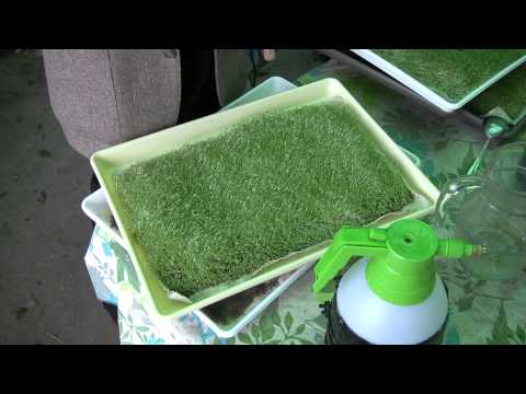 Sprouting Chia Seeds/Grass - The Sproutarian babbles on with