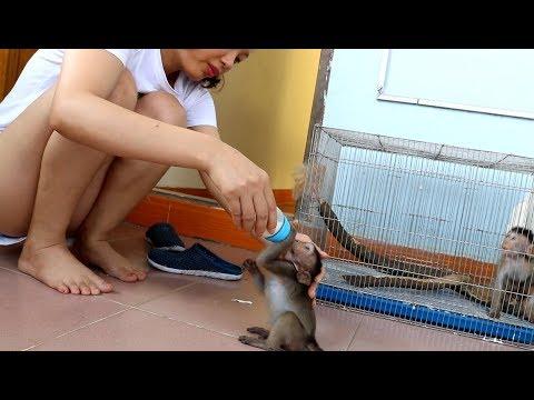 Monkey Sam Was Very Happy When Mom Was Breastfed