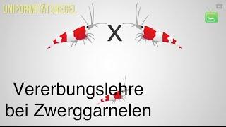 VERERBUNGSLEHRE BEI GARNELEN -  BIENENGARNELEN | Wissen | GarnelenTv