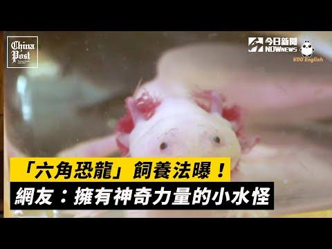 「六角恐龍」飼養法曝!網友:擁有神奇力量的小水怪