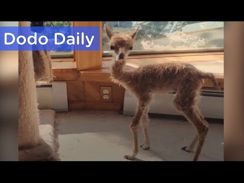 Tiny Alpaca is Queen of Her House | Best Animal Videos | The Dodo Daily