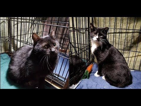 Taming the Teens: Semi-Ferals Tux & Oliver (aka Olly or Black Jack)