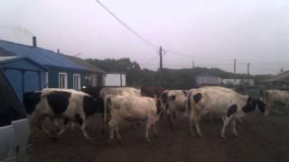 Курильские Острова - на берегу - Видео №21 - коровы в огороде(В поисках чего нибудь смешного))), 2015-07-21T01:37:18.000Z)