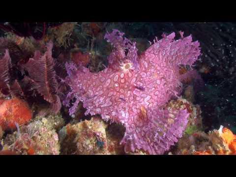 Pink Weedy Scorpionfish (Rhinopias Frondosa) - Close Up - Philippines