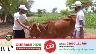 QURBANI 2020 | MuslimCharity.org.uk |  £20 QURBANI | SHARE HAPPINESS | ORDER NOW | | UDHIYA | URDU