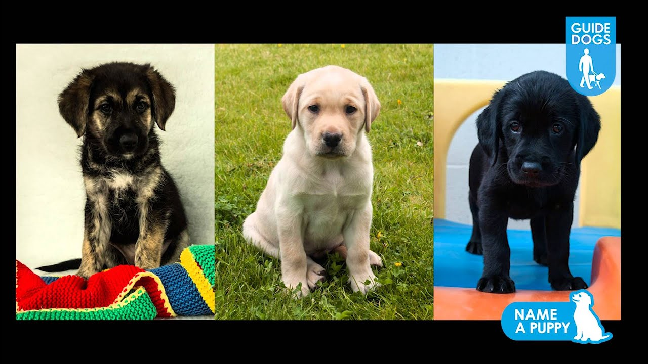 Name a guide dog puppy - change a life - YouTube