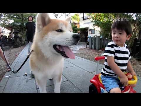Akita Dog Tora-maru and His Three Human Friends | Nippon.com: Japan in Video