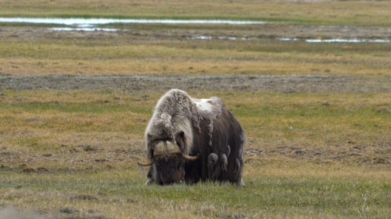 【動画】北極の野生生物を観察