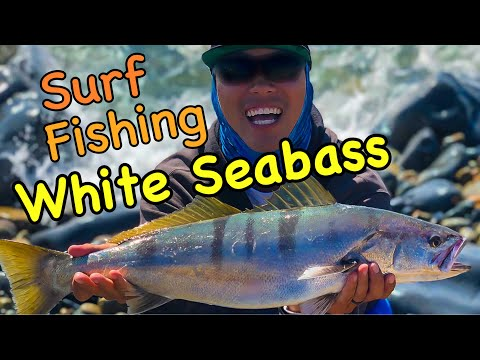 White Seabass Surf Fishing With Lucky Craft!!